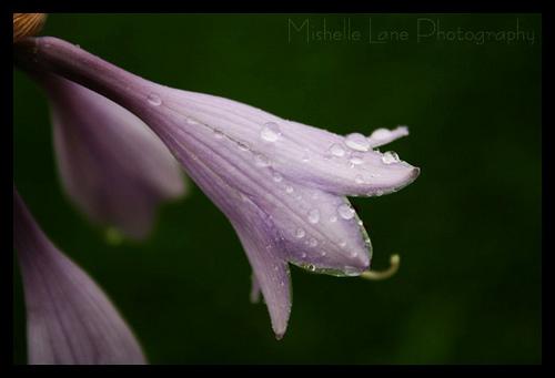 rain-kissed petals