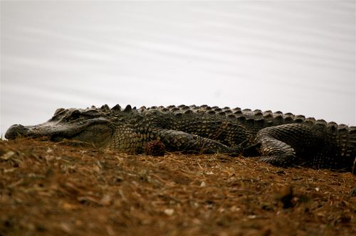 alligator close up @ Kiawah Island