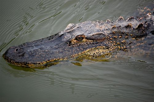 alligator head close up