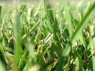 800px-Blades_of_grass