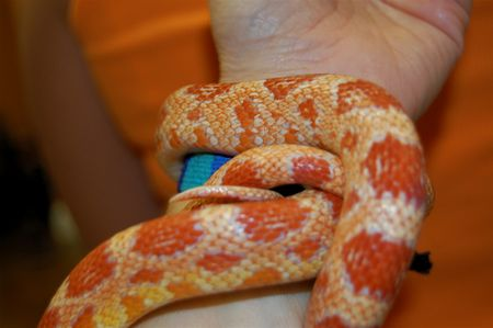 orange and yellow corn snake