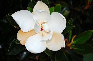 Magnolia_bloom