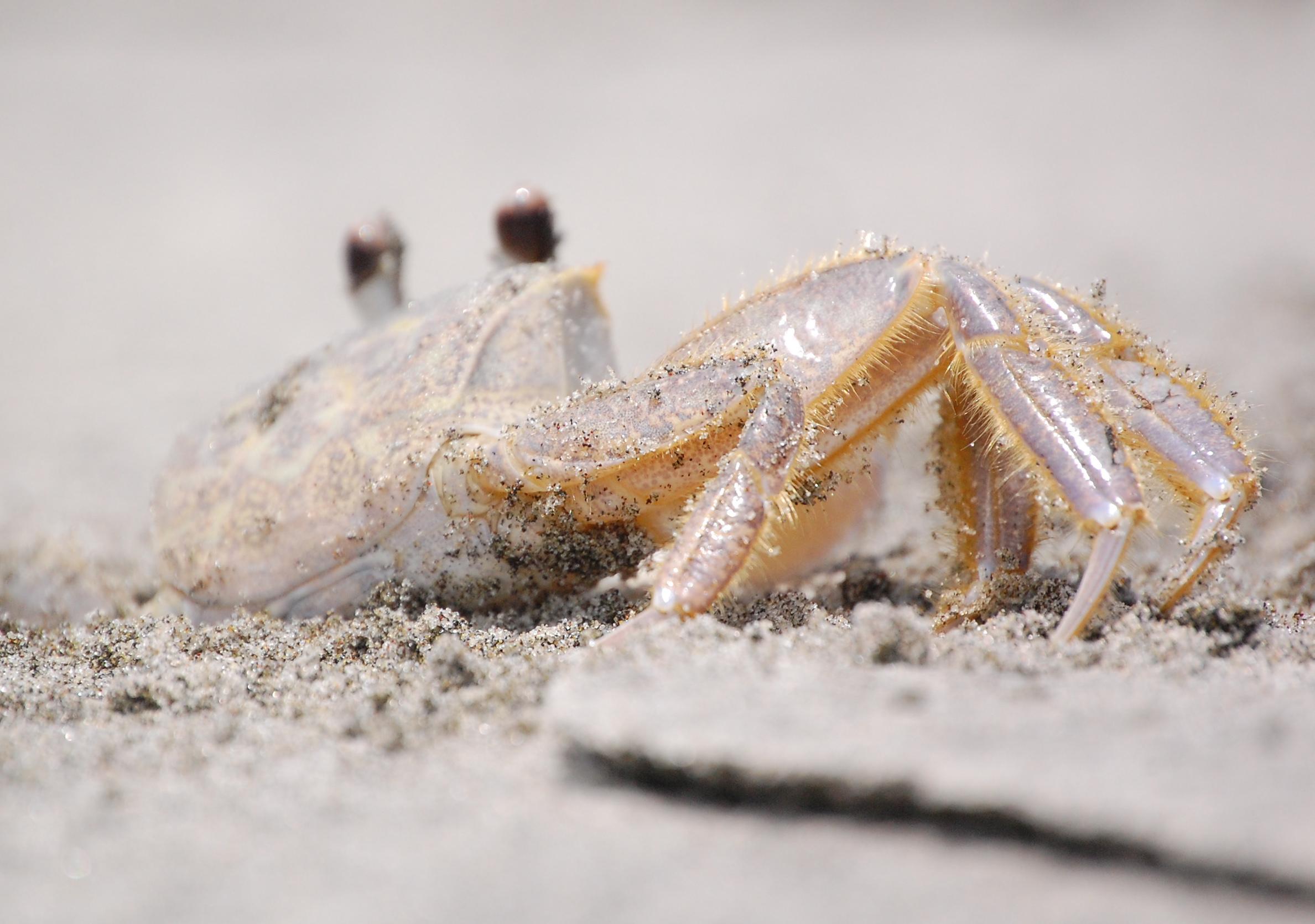 Sand crab close-up, Kiawah Island, SC beach