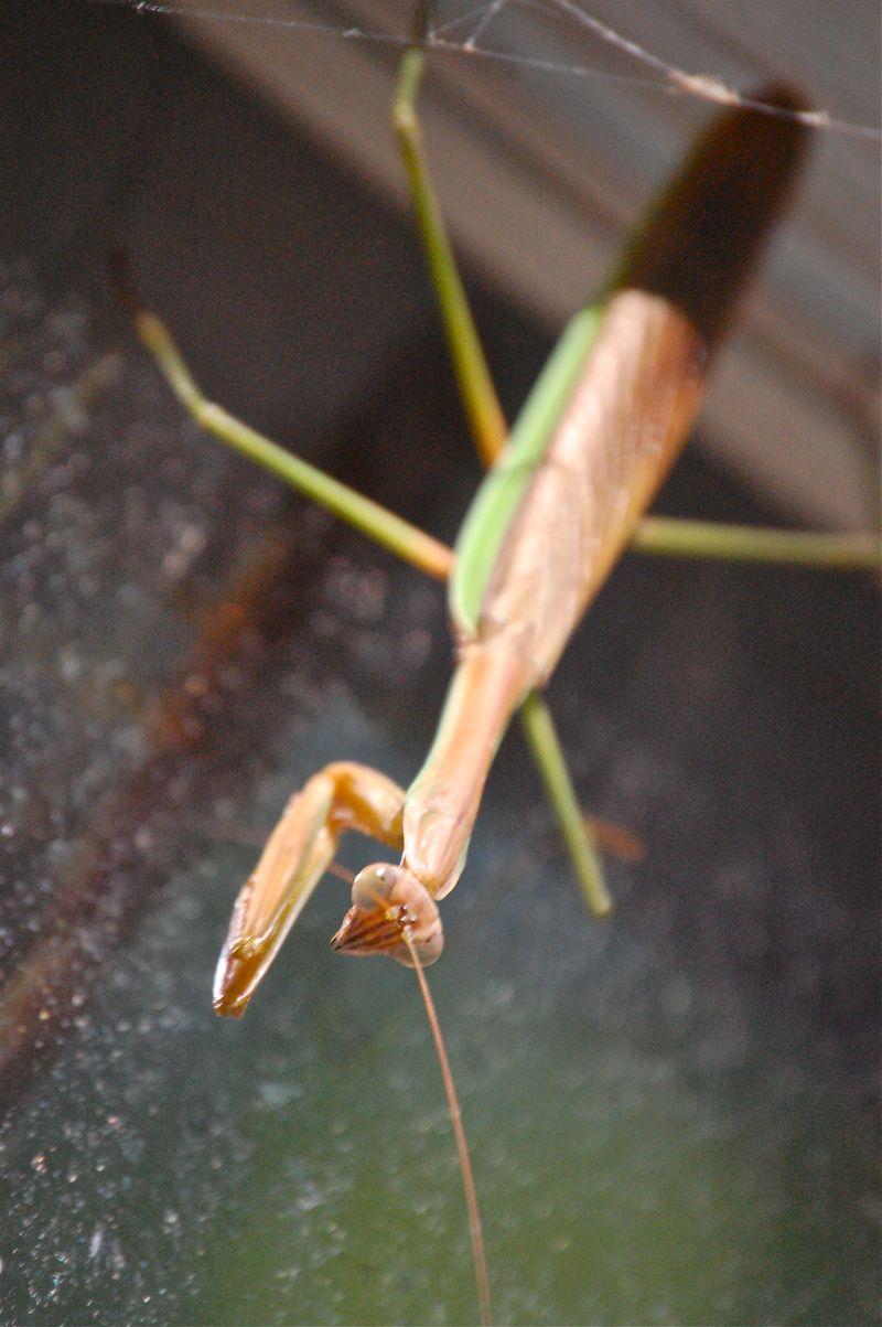 praying mantis in spider web