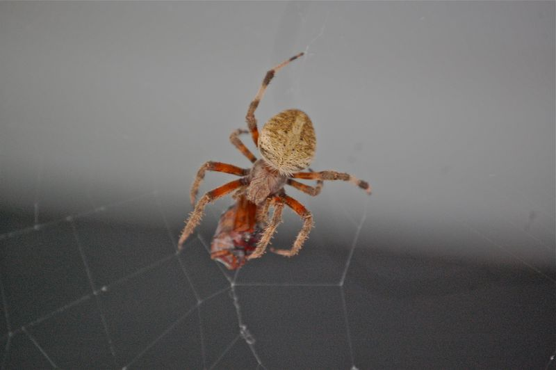 spider wrapping bug