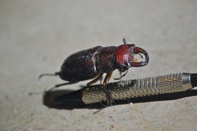 beetle with pinchers