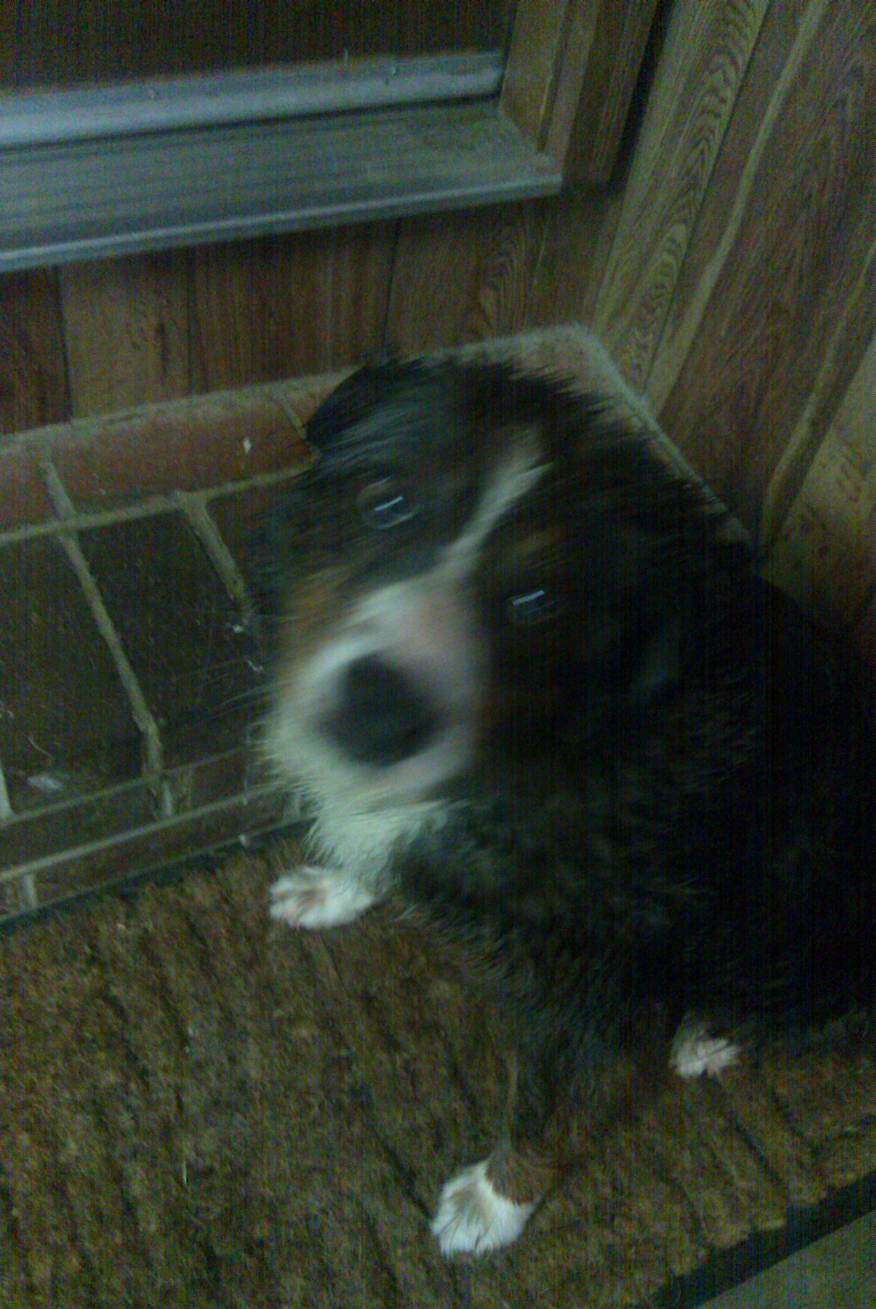 Aussie ~ a very wet, unhappy Australian Shepherd....:)