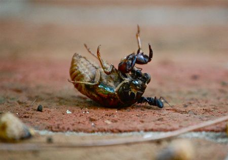 ant vs cicada shell