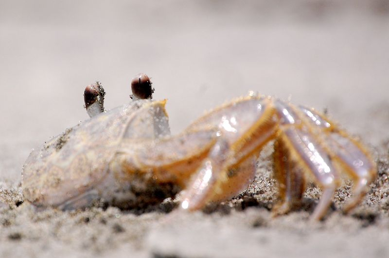 Sand crab @ Kiawah Island