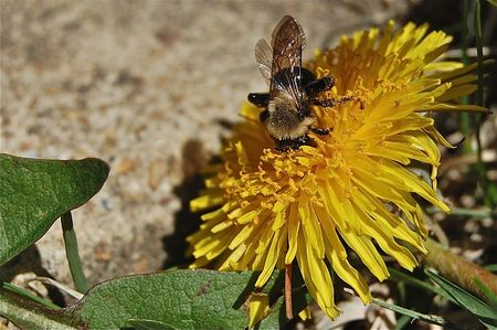 bee pollinating in spring on dandelion