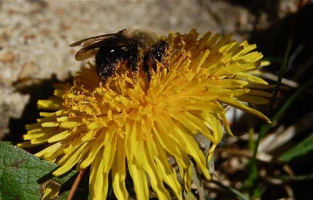 Bee covered in pollen macro