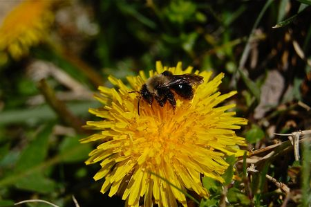 Bee and dandelion close up