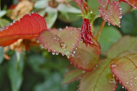 morning dewdrops on leaves