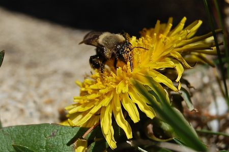 Pollinating bee on a dandelion