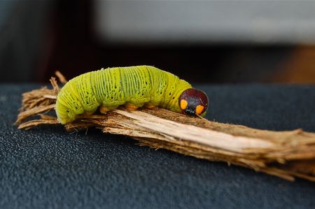creepy caterpillar