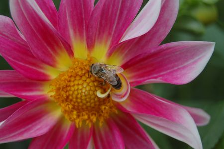 Bee at center of flower