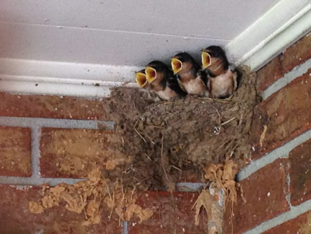 Hungry barn swallows
