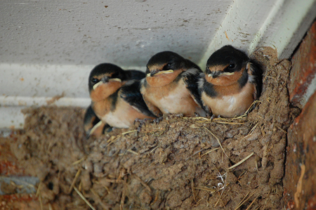 baby barn swallows in nest
