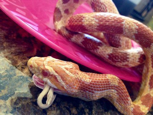 orange corn snake
