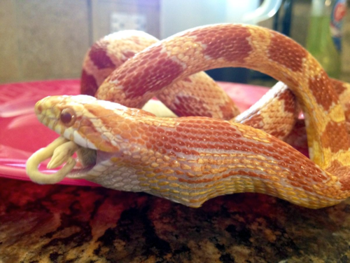 Corn snake eating mouse
