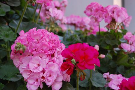 Pink and fuschia geraniums