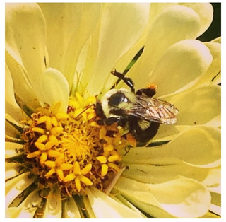 Bee on yellow zinnia