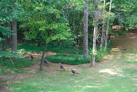 Turkeys_on_the_run