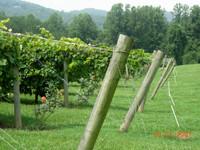 Vineyards_of_tiger_mountain