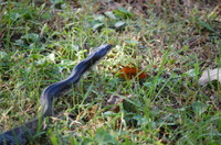 Snake_in_grass_heads_up