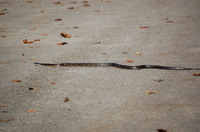 Snake_in_the_road
