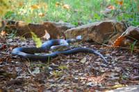 Snake_slithering_away