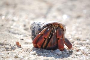 Anastascia_the_antiguan_hermit_crab