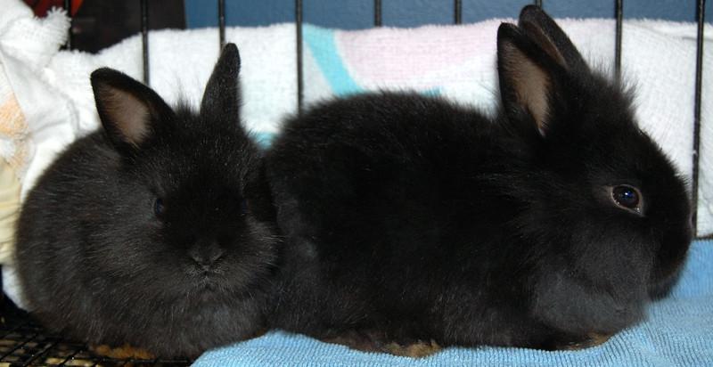 Black_lionhead_bunnies