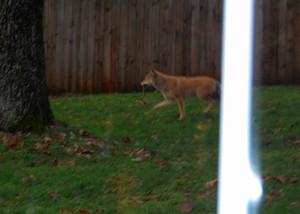 Fox_with_bone