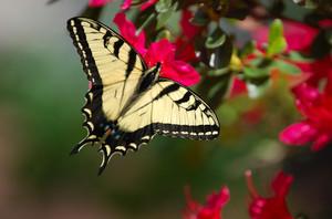 Yellow_swallowtail
