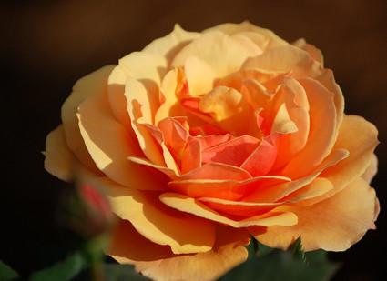 Peach_colored_rose