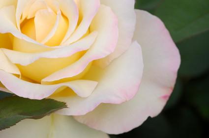 White_rose_macro_shot