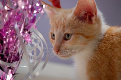 Orange_tabby_kitten