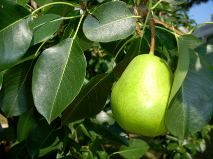 Green_pear