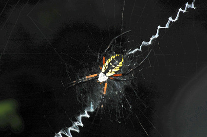 Writing_spider_in_her_web