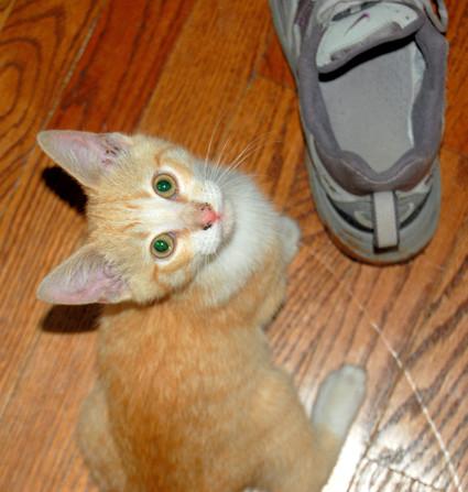 Orange_tabby_kitty_and_shoe_2